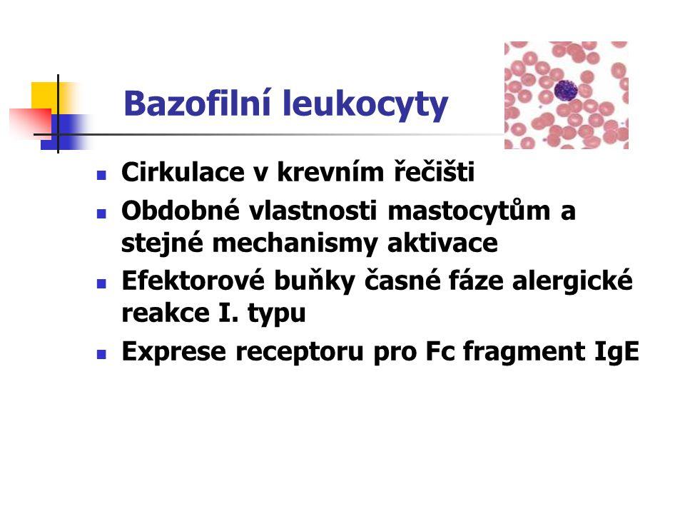 Bazofilní leukocyty Cirkulace v krevním řečišti Obdobné vlastnosti mastocytům a stejné mechanismy aktivace Efektorové buňky časné fáze alergické reakc