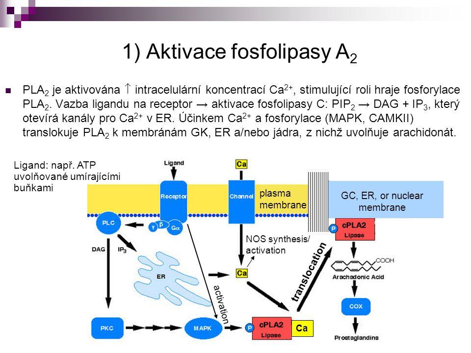 1) Aktivace fosfolipasy A 2 PLA 2 je aktivována  intracelulární koncentrací Ca 2+, stimulující roli hraje fosforylace PLA 2. Vazba ligandu na recepto