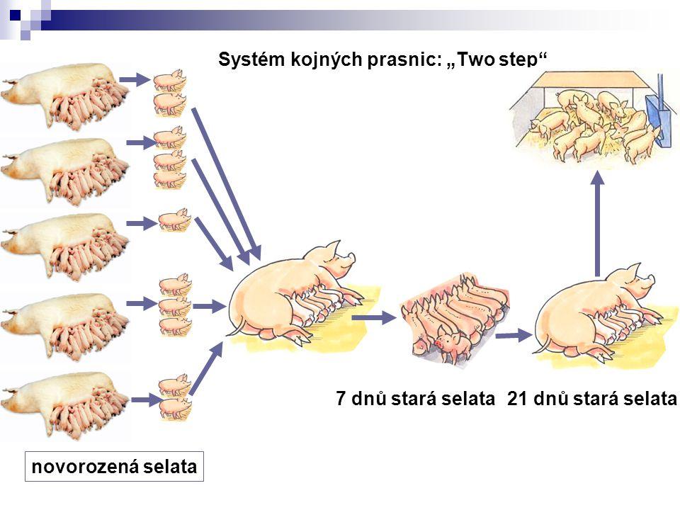 "Systém kojných prasnic: ""Two step"" 21 dnů stará selata7 dnů stará selata novorozená selata"