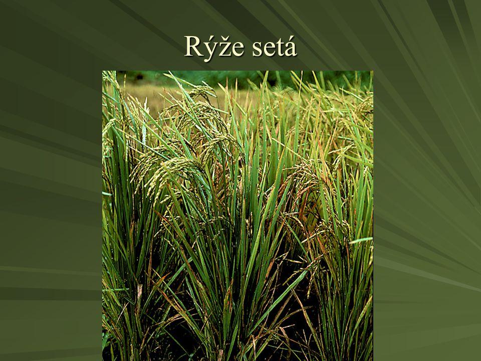 Rýže setá