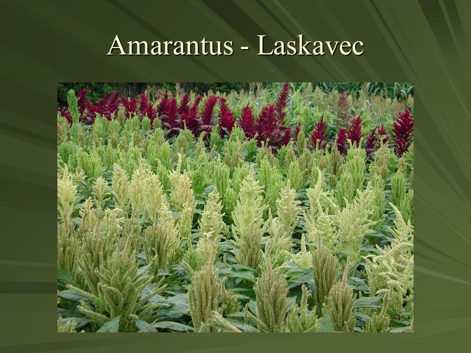 Amarantus - Laskavec