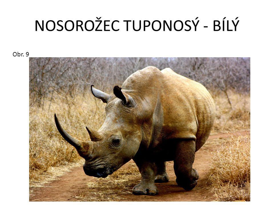 NOSOROŽEC TUPONOSÝ - BÍLÝ Obr. 9