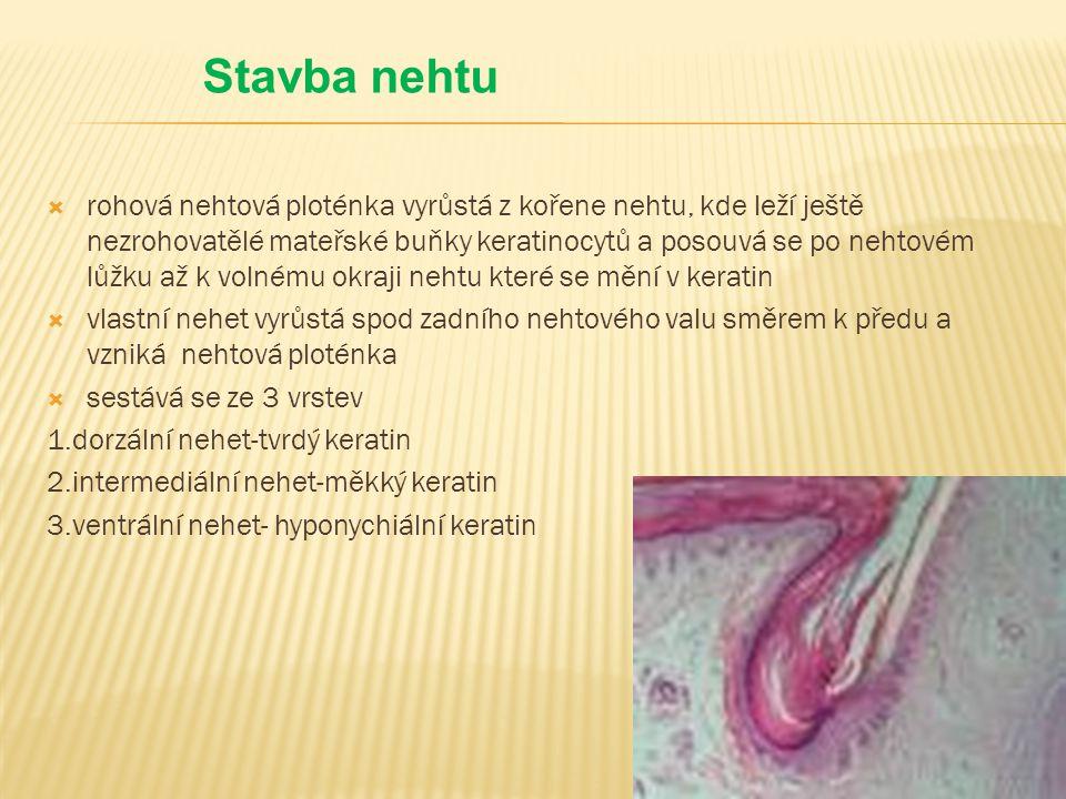  rohová nehtová ploténka vyrůstá z kořene nehtu, kde leží ještě nezrohovatělé mateřské buňky keratinocytů a posouvá se po nehtovém lůžku až k volnému okraji nehtu které se mění v keratin  vlastní nehet vyrůstá spod zadního nehtového valu směrem k předu a vzniká nehtová ploténka  sestává se ze 3 vrstev 1.dorzální nehet-tvrdý keratin 2.intermediální nehet-měkký keratin 3.ventrální nehet- hyponychiální keratin Stavba nehtu