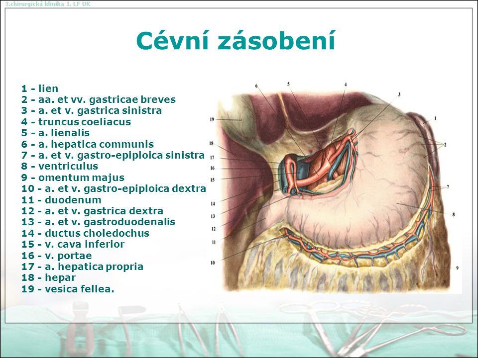 Cévní zásobení 1 - ventriculus 2 - a.et v. gastro-epiploica sinistra 3 - aa.