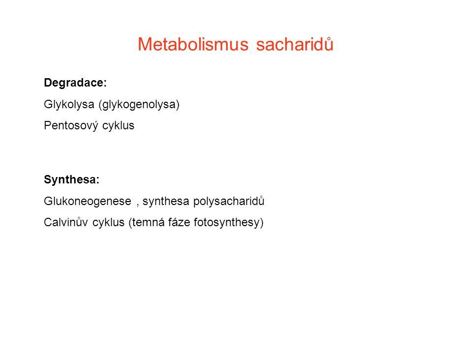 Metabolismus sacharidů Degradace: Glykolysa (glykogenolysa) Pentosový cyklus Synthesa: Glukoneogenese, synthesa polysacharidů Calvinův cyklus (temná f