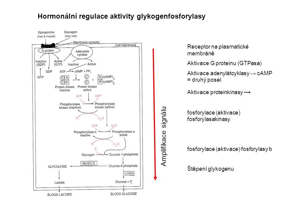 Hormonální regulace aktivity glykogenfosforylasy Receptor na plasmatické membráně Aktivace G proteinu (GTPasa) Aktivace adenylátcyklasy → cAMP = druhý