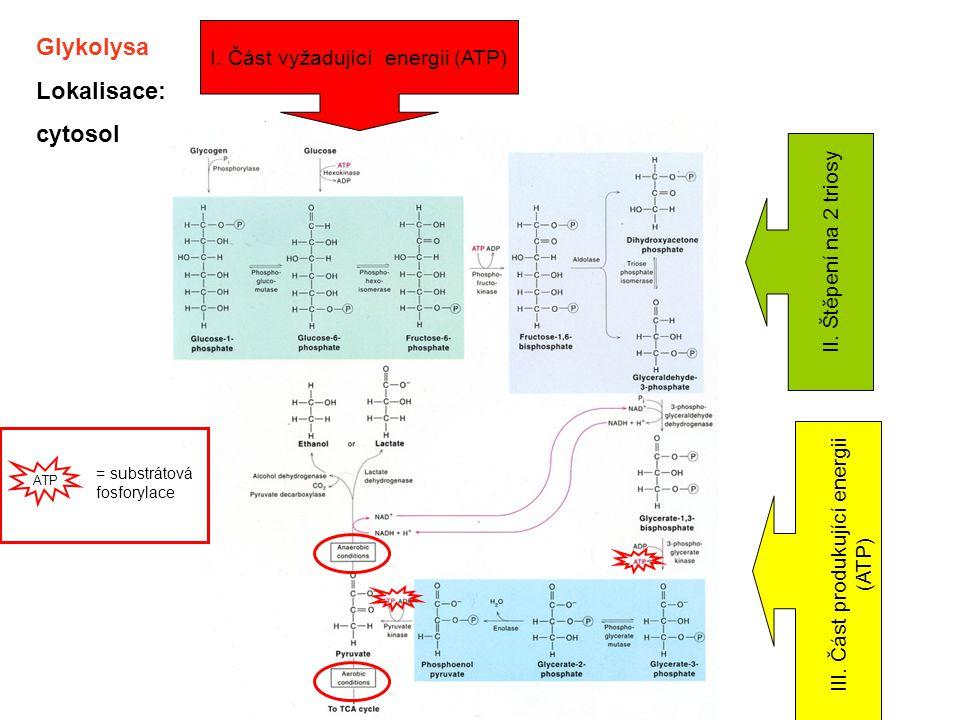 Glykolysa Lokalisace: cytosol I. Část vyžadující energii (ATP) II. Štěpení na 2 triosy III. Část produkující energii (ATP) ATP = substrátová fosforyla