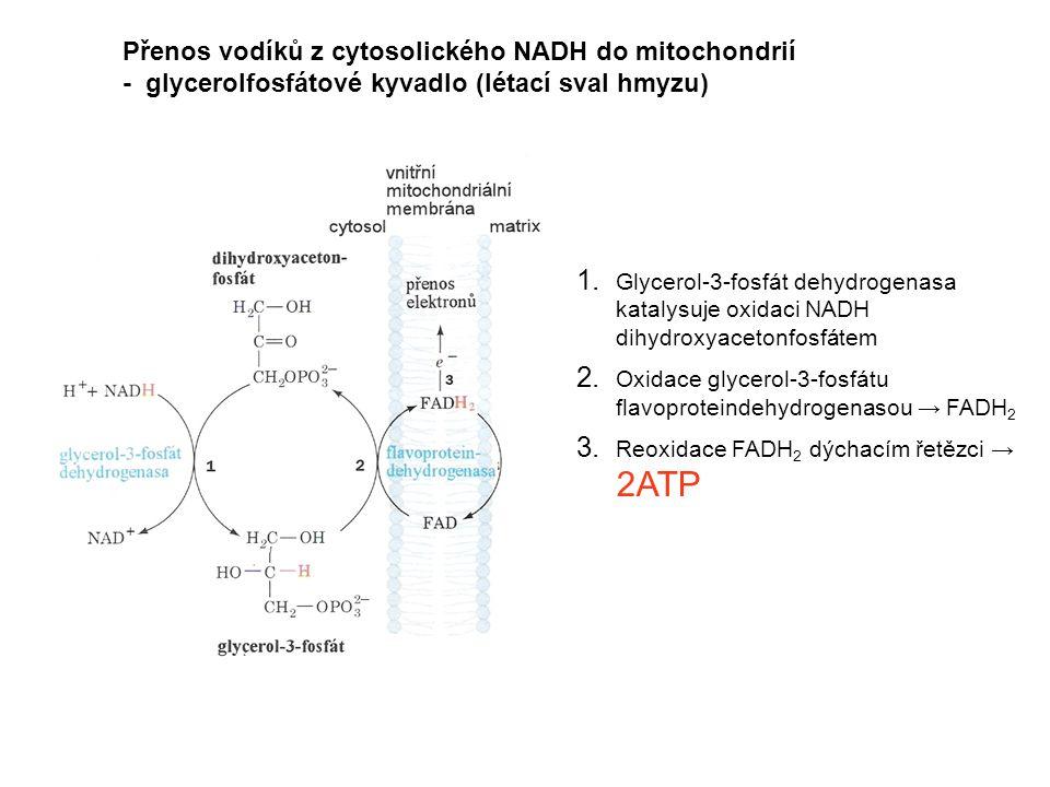 Přenos vodíků z cytosolického NADH do mitochondrií - glycerolfosfátové kyvadlo (létací sval hmyzu) 1. Glycerol-3-fosfát dehydrogenasa katalysuje oxida