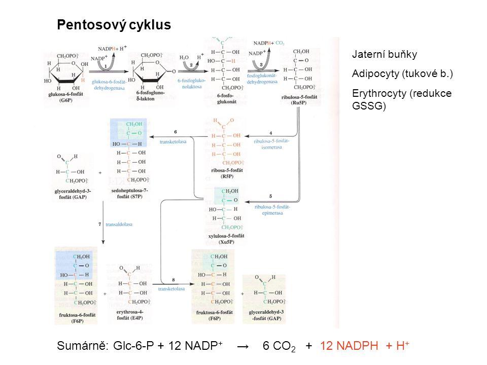 Pentosový cyklus Sumárně: Glc-6-P + 12 NADP + → 6 CO 2 + 12 NADPH + H + Jaterní buňky Adipocyty (tukové b.) Erythrocyty (redukce GSSG)