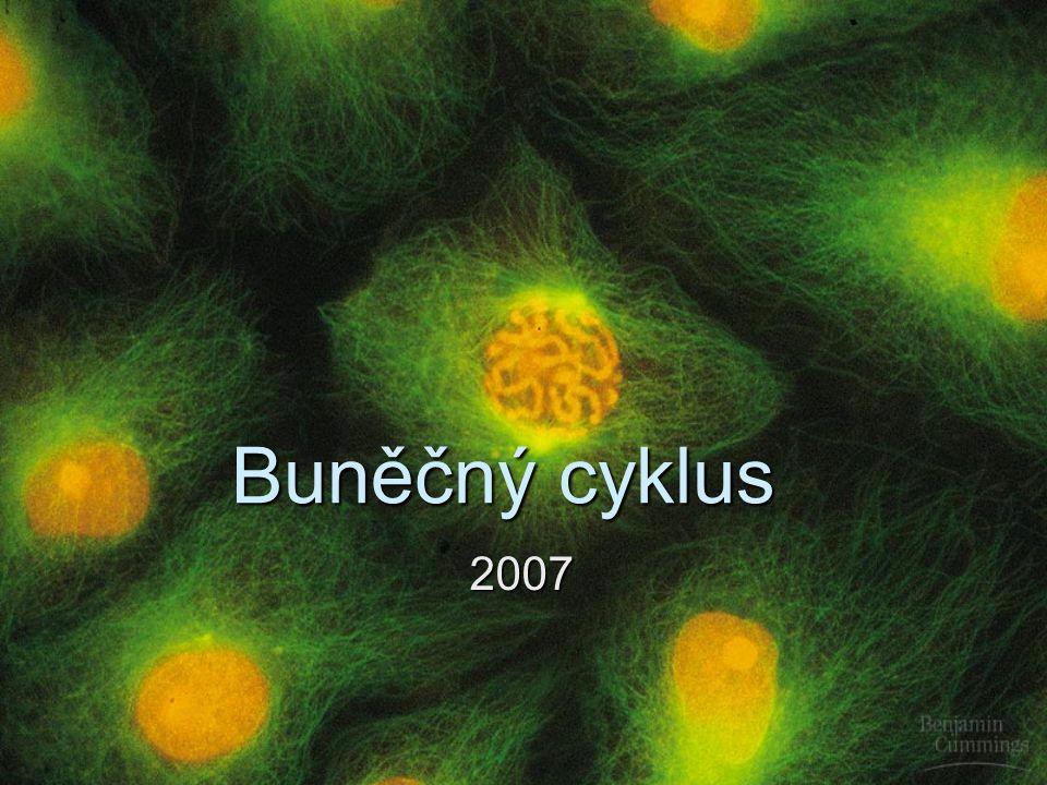 Regulace buněčného cyklu  Některé buňky, např.