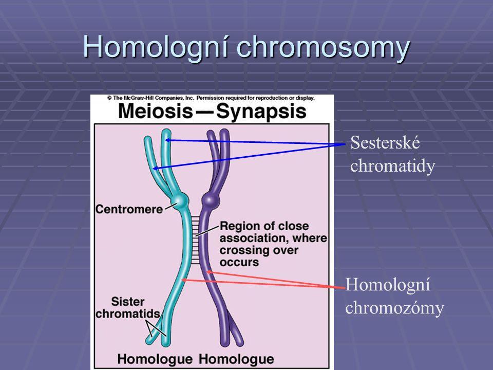 Homologní chromosomy Homologní chromozómy Sesterské chromatidy