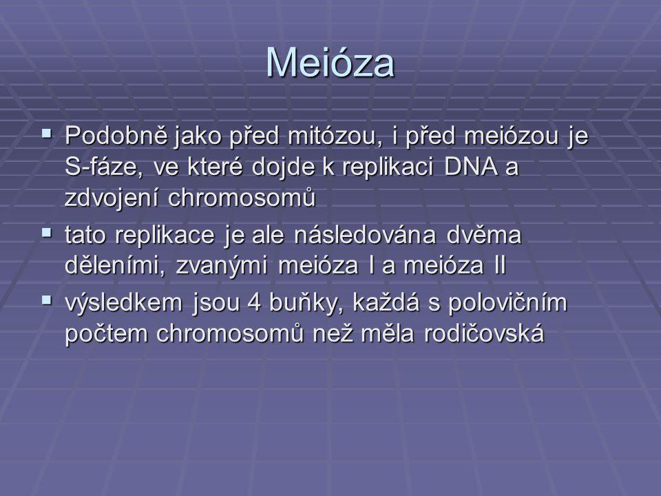 Meióza  Podobně jako před mitózou, i před meiózou je S-fáze, ve které dojde k replikaci DNA a zdvojení chromosomů  tato replikace je ale následována