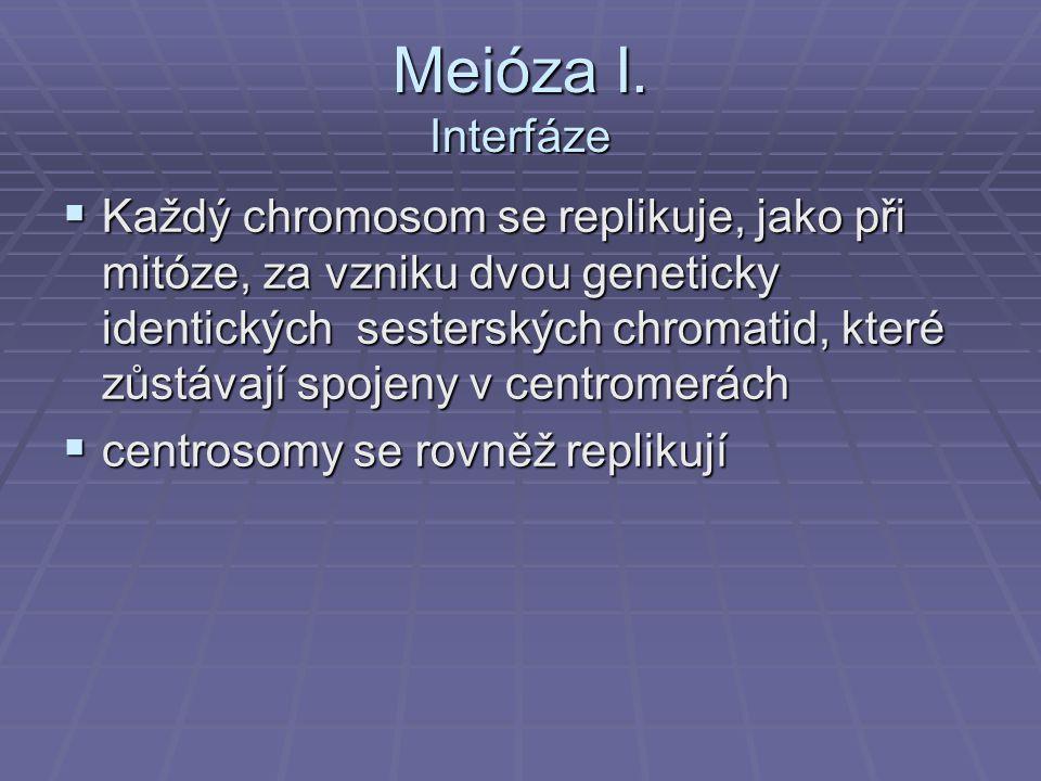 Meióza I. Interfáze  Každý chromosom se replikuje, jako při mitóze, za vzniku dvou geneticky identických sesterských chromatid, které zůstávají spoje
