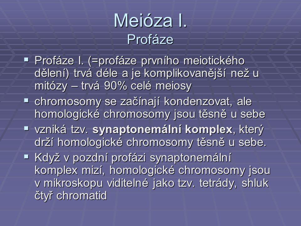 Meióza I. Profáze  Profáze I. (=profáze prvního meiotického dělení) trvá déle a je komplikovanější než u mitózy – trvá 90% celé meiosy  chromosomy s