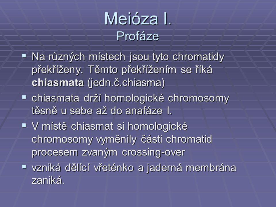Meióza I. Profáze  Na různých místech jsou tyto chromatidy překříženy. Těmto překřížením se říká chiasmata (jedn.č.chiasma)  chiasmata drží homologi