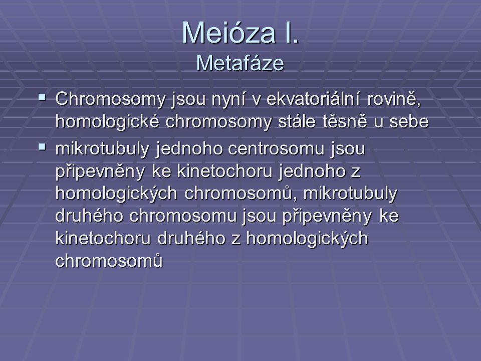 Meióza I. Metafáze  Chromosomy jsou nyní v ekvatoriální rovině, homologické chromosomy stále těsně u sebe  mikrotubuly jednoho centrosomu jsou připe