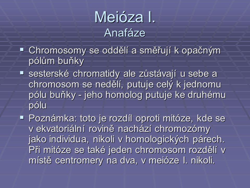 Meióza I. Anafáze  Chromosomy se oddělí a směřují k opačným pólům buňky  sesterské chromatidy ale zůstávají u sebe a chromosom se nedělí, putuje cel