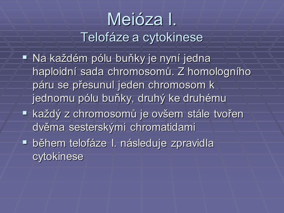 Meióza I. Telofáze a cytokinese  Na každém pólu buňky je nyní jedna haploidní sada chromosomů. Z homologního páru se přesunul jeden chromosom k jedno