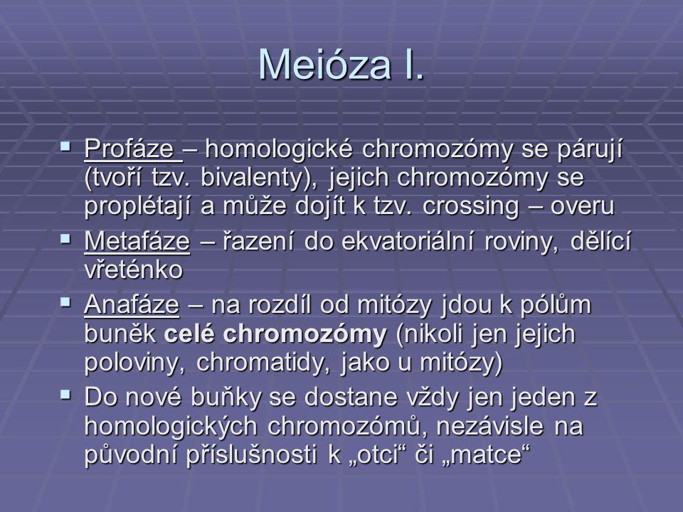Meióza I.  Profáze – homologické chromozómy se párují (tvoří tzv. bivalenty), jejich chromozómy se proplétají a může dojít k tzv. crossing – overu 