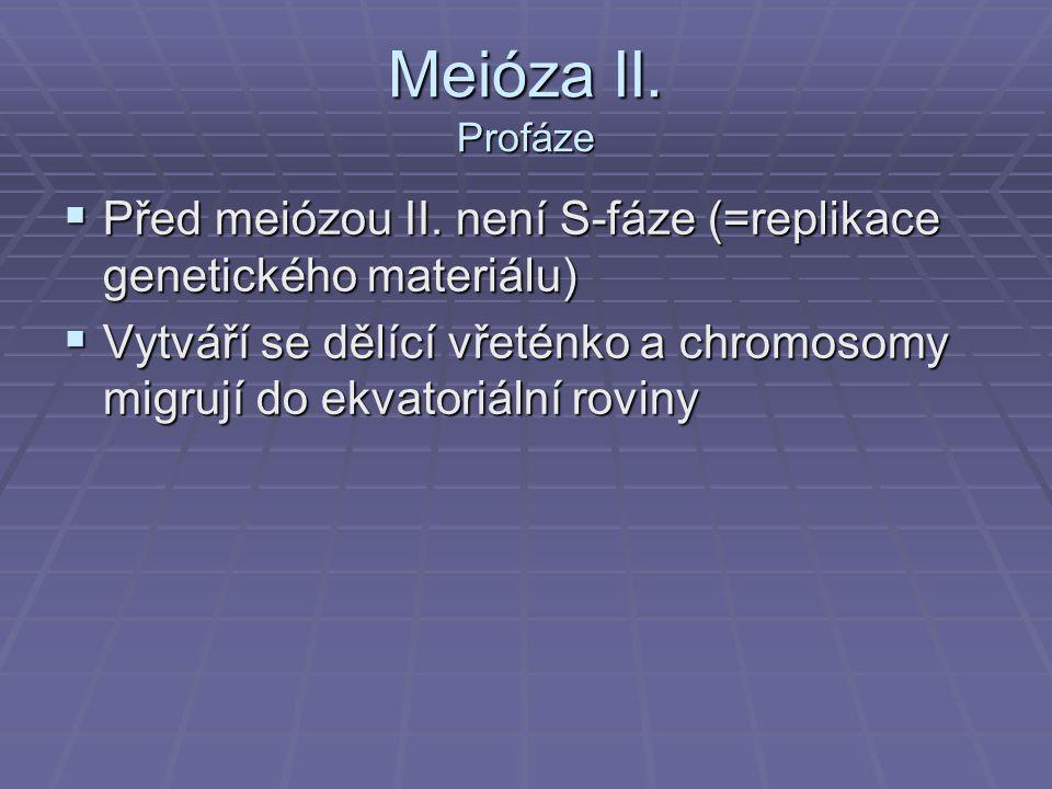Meióza II. Profáze  Před meiózou II. není S-fáze (=replikace genetického materiálu)  Vytváří se dělící vřeténko a chromosomy migrují do ekvatoriální
