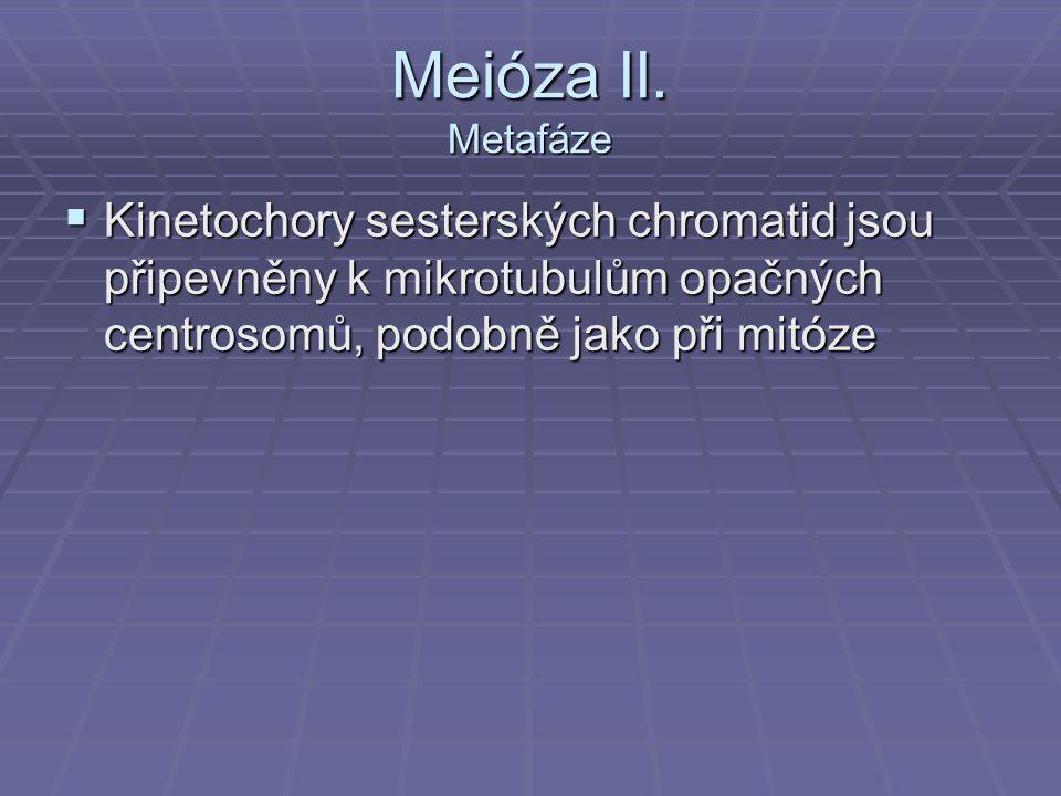 Meióza II. Metafáze  Kinetochory sesterských chromatid jsou připevněny k mikrotubulům opačných centrosomů, podobně jako při mitóze