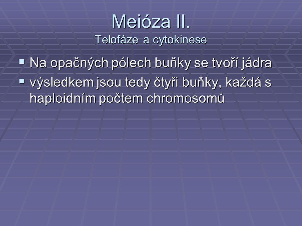 Meióza II. Telofáze a cytokinese  Na opačných pólech buňky se tvoří jádra  výsledkem jsou tedy čtyři buňky, každá s haploidním počtem chromosomů