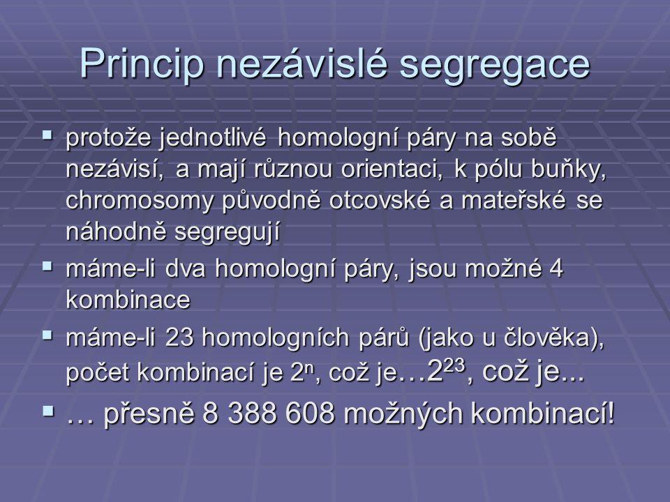 Princip nezávislé segregace  protože jednotlivé homologní páry na sobě nezávisí, a mají různou orientaci, k pólu buňky, chromosomy původně otcovské a