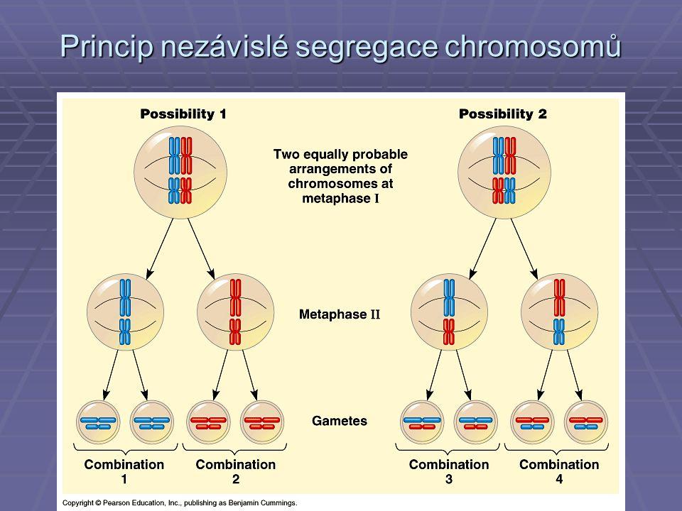 Princip nezávislé segregace chromosomů