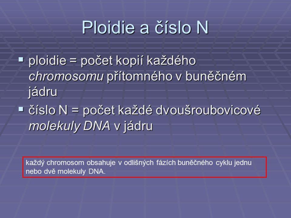 Ploidie a číslo N  ploidie = počet kopií každého chromosomu přítomného v buněčném jádru  číslo N = počet každé dvoušroubovicové molekuly DNA v jádru