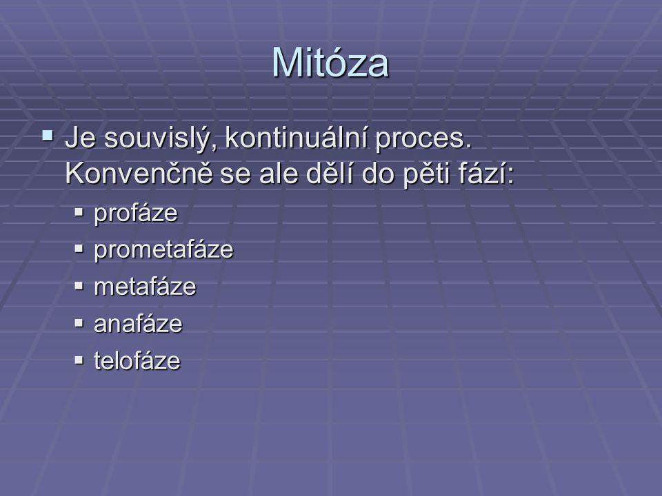 Mitóza  Je souvislý, kontinuální proces. Konvenčně se ale dělí do pěti fází:  profáze  prometafáze  metafáze  anafáze  telofáze