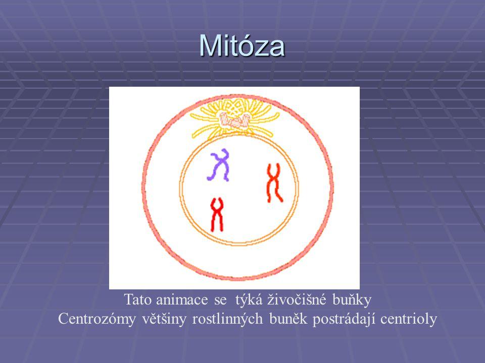 Mitóza Tato animace se týká živočišné buňky Centrozómy většiny rostlinných buněk postrádají centrioly