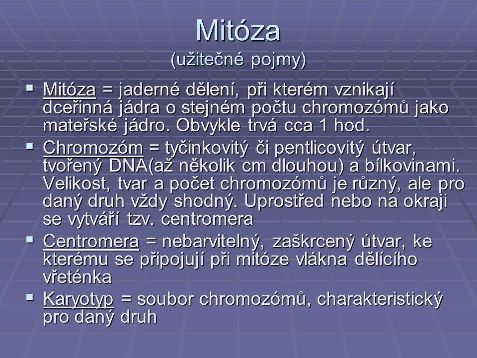 Mitóza (užitečné pojmy)  Mitóza = jaderné dělení, při kterém vznikají dceřinná jádra o stejném počtu chromozómů jako mateřské jádro. Obvykle trvá cca