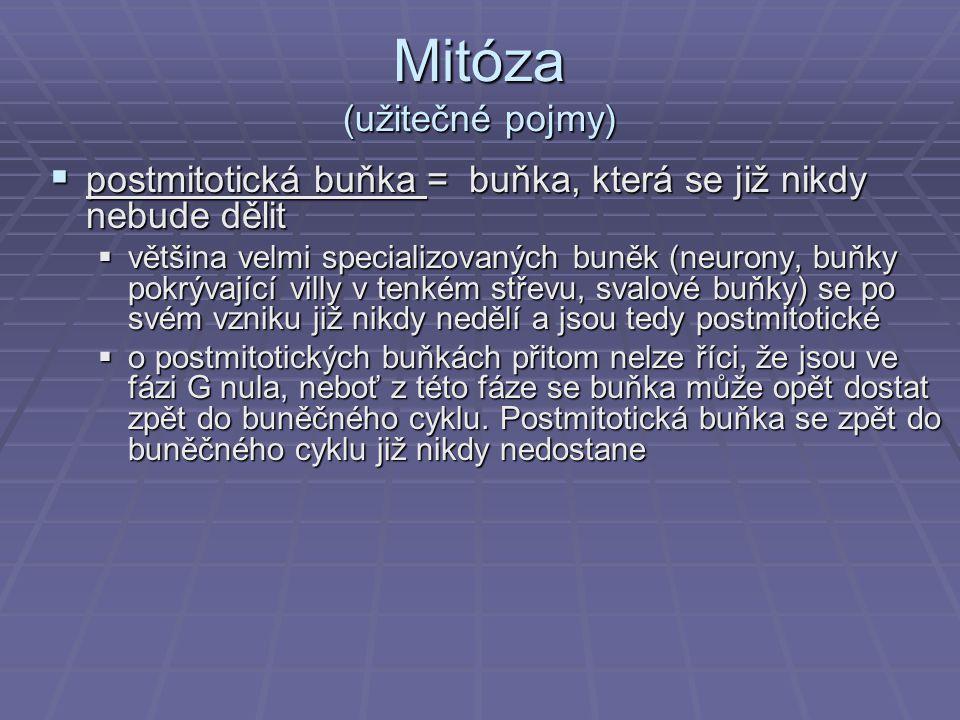 Mitóza (užitečné pojmy)  postmitotická buňka = buňka, která se již nikdy nebude dělit  většina velmi specializovaných buněk (neurony, buňky pokrývaj