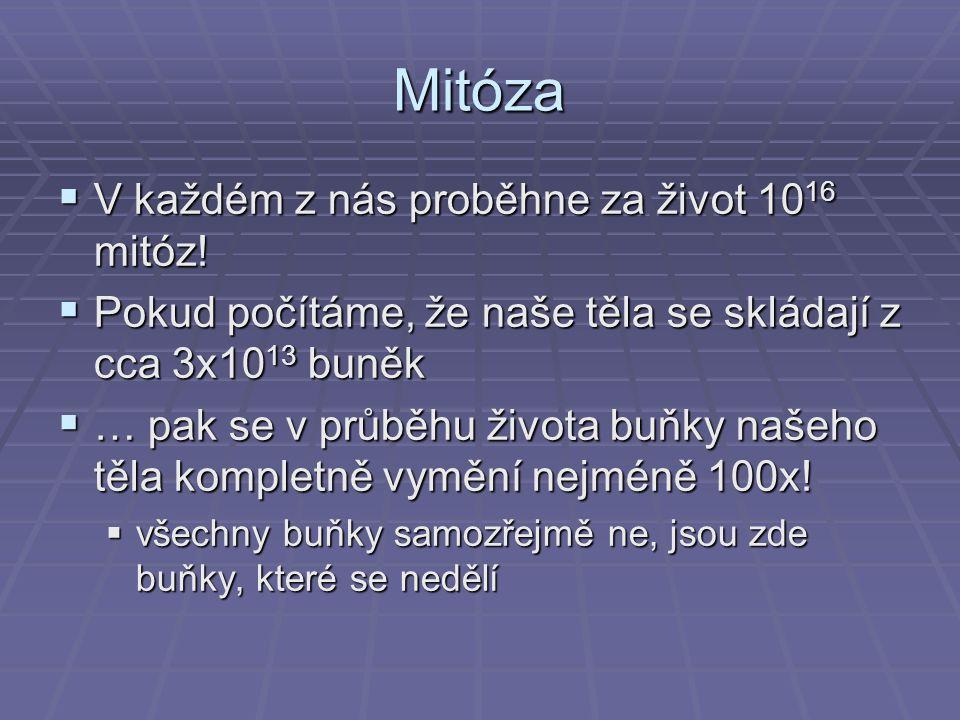 Mitóza  V každém z nás proběhne za život 10 16 mitóz!  Pokud počítáme, že naše těla se skládají z cca 3x10 13 buněk  … pak se v průběhu života buňk
