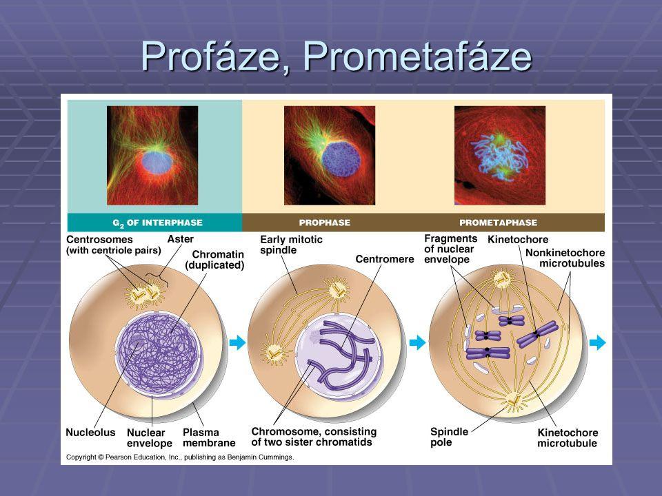 Profáze, Prometafáze