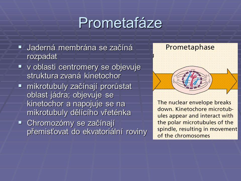 Prometafáze  Jaderná membrána se začíná rozpadat  v oblasti centromery se objevuje struktura zvaná kinetochor  mikrotubuly začínají prorůstat oblas