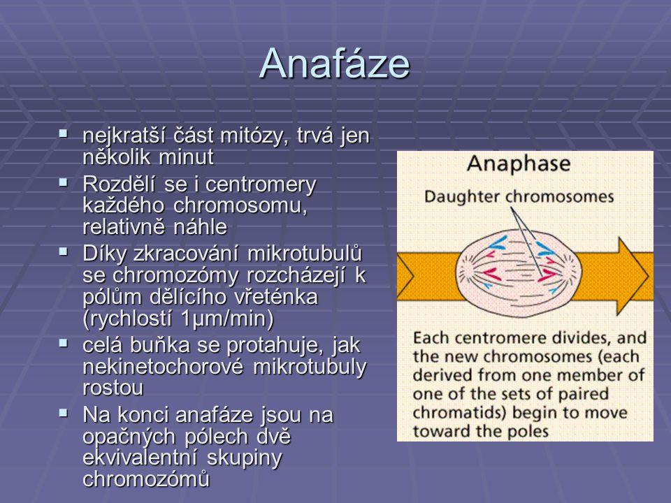Anafáze  nejkratší část mitózy, trvá jen několik minut  Rozdělí se i centromery každého chromosomu, relativně náhle  Díky zkracování mikrotubulů se