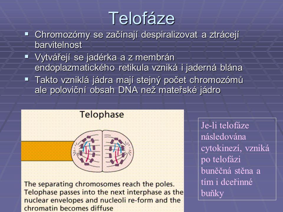 Telofáze  Chromozómy se začínají despiralizovat a ztrácejí barvitelnost  Vytvářejí se jadérka a z membrán endoplazmatického retikula vzniká i jadern