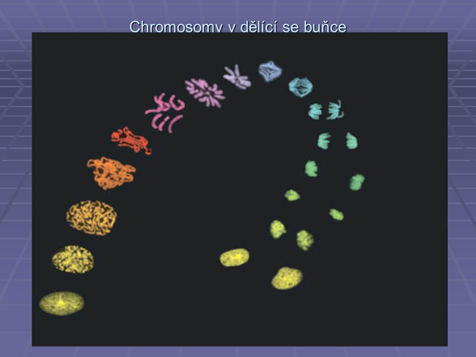 Ploidie a číslo N  somatické buňky mají dvě kopie každého typu chromosomu a jsou tedy zvány diploidní  gamety mají jen jednu kopii každého typu chromosomu a jsou zvány haploidní  gamety mají v každém chromosomu jednu molekulu DNA a jsou tedy 1N  v některých fázích buněčného cyklu (G1) mají somatické buňky v každém chromosomu jednu molekulu DNA jsou tedy 2N  ve fázi G2 a v raných fázích mitosy a meiosy však každý chromosom diploidní buňky obsahuje dvě molekuly DNA a buňka je tedy 4N