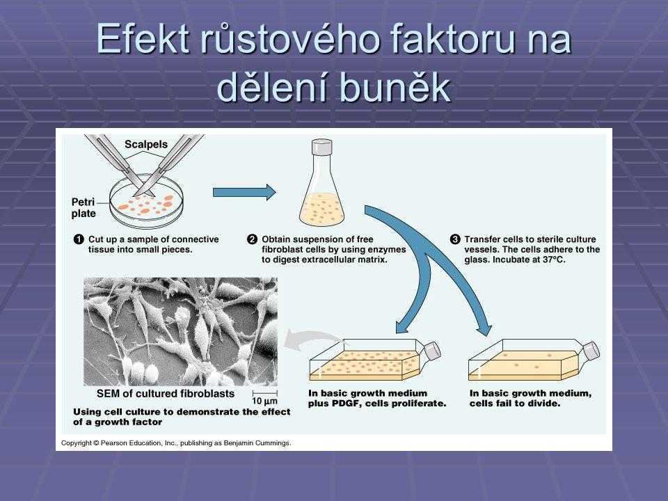 Efekt růstového faktoru na dělení buněk
