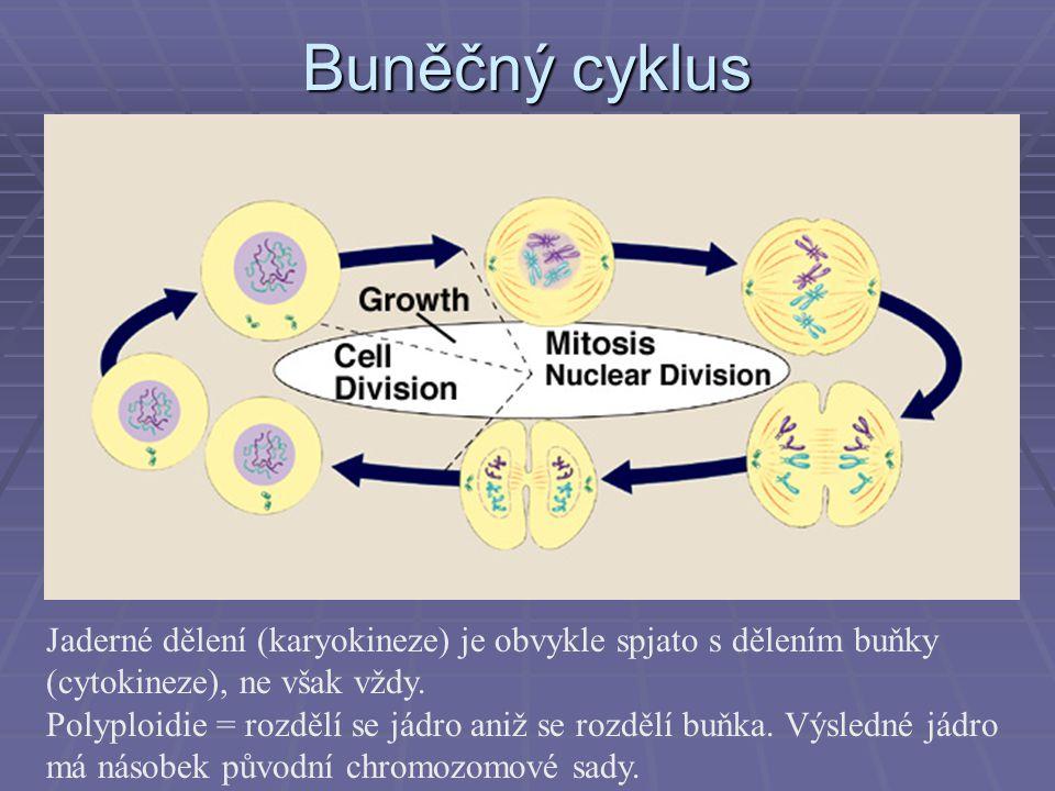 Buněčný cyklus Jaderné dělení (karyokineze) je obvykle spjato s dělením buňky (cytokineze), ne však vždy. Polyploidie = rozdělí se jádro aniž se rozdě