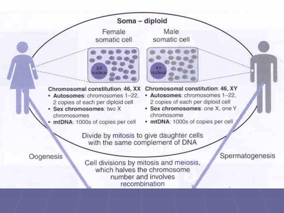 Meióza  Jediné buňky v našem těle, které nevznikají mitózou, jsou gamety, které vznikají ve specializovaných orgánech (spermie ve varlatech a oocyty ve vaječnících)  zatímco mitóza uchovává původní počet chromosomů, meióza redukuje původní počet chromosomů na polovinu  výsledkem meiosy u člověka je buňka se 23 chromosomy, po jednom z každého homologického páru