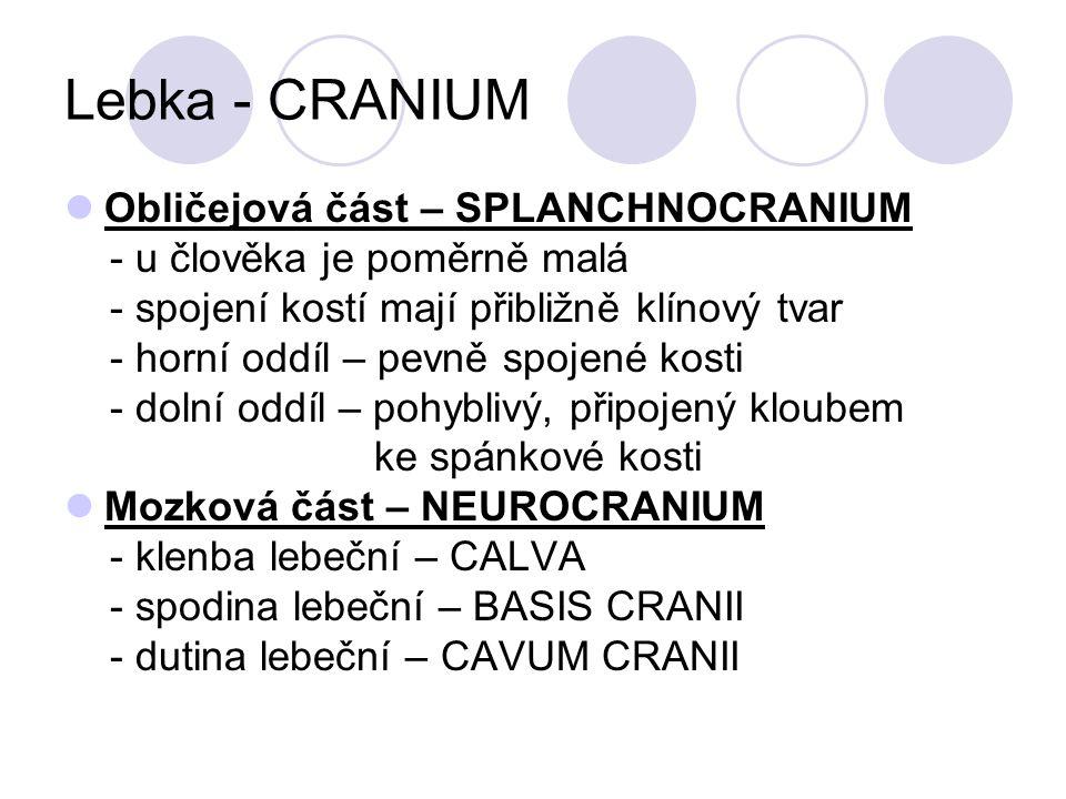 Lebka - CRANIUM Obličejová část – SPLANCHNOCRANIUM - u člověka je poměrně malá - spojení kostí mají přibližně klínový tvar - horní oddíl – pevně spojené kosti - dolní oddíl – pohyblivý, připojený kloubem ke spánkové kosti Mozková část – NEUROCRANIUM - klenba lebeční – CALVA - spodina lebeční – BASIS CRANII - dutina lebeční – CAVUM CRANII