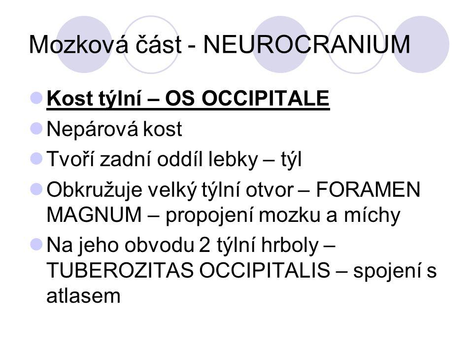 Mozková část - NEUROCRANIUM Kost týlní – OS OCCIPITALE Nepárová kost Tvoří zadní oddíl lebky – týl Obkružuje velký týlní otvor – FORAMEN MAGNUM – propojení mozku a míchy Na jeho obvodu 2 týlní hrboly – TUBEROZITAS OCCIPITALIS – spojení s atlasem