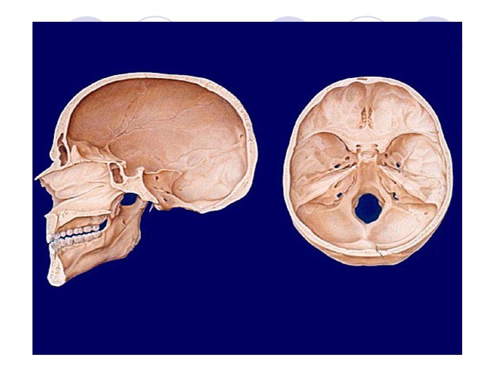 Mozková část - NEUROCRANIUM Kost temenní – OS PARIETALE Párová kost Čtverhranný tvar Tvoří vrchol klenby lební K okolním kostem je fixována pomocí švů