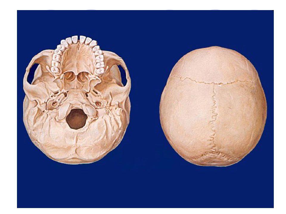 Obličejová část - SPLANCHNOCRANIUM Horní čelist – MAXILLA Největší kost obličeje Nepárová kost Obsahuje vedlejší nosní dutinu – SINUS MAXILLARIS Vybíhá ve spodní části v dásňové výběžky pro zuby – ALVEOLY Je na ní umístěn otvor pro výstup II.větve trojklanného nervu