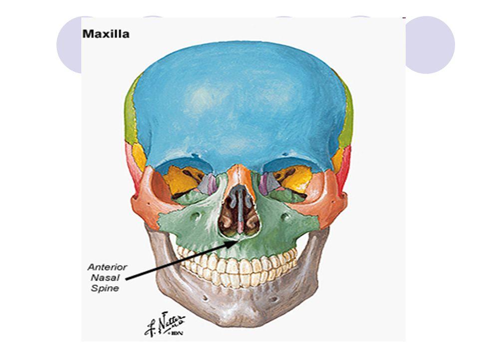 Spojení kostí lebky: Kloub MAXILLOMANDIBULÁRNÍ – spojení horní a dolní čelisti ŠVY – SUTURA: SUTURA CORONALIS – korunový šev (kosti čelní a temenní) SUTURA SAGITALIS – šípový šev (kosti temenní) SUTURA LAMBDOIDEA – lambdový šev (kosti temenní a týlní) SUTURA SQUAMOSA – šupinový šev (kosti temenní a spánkové)