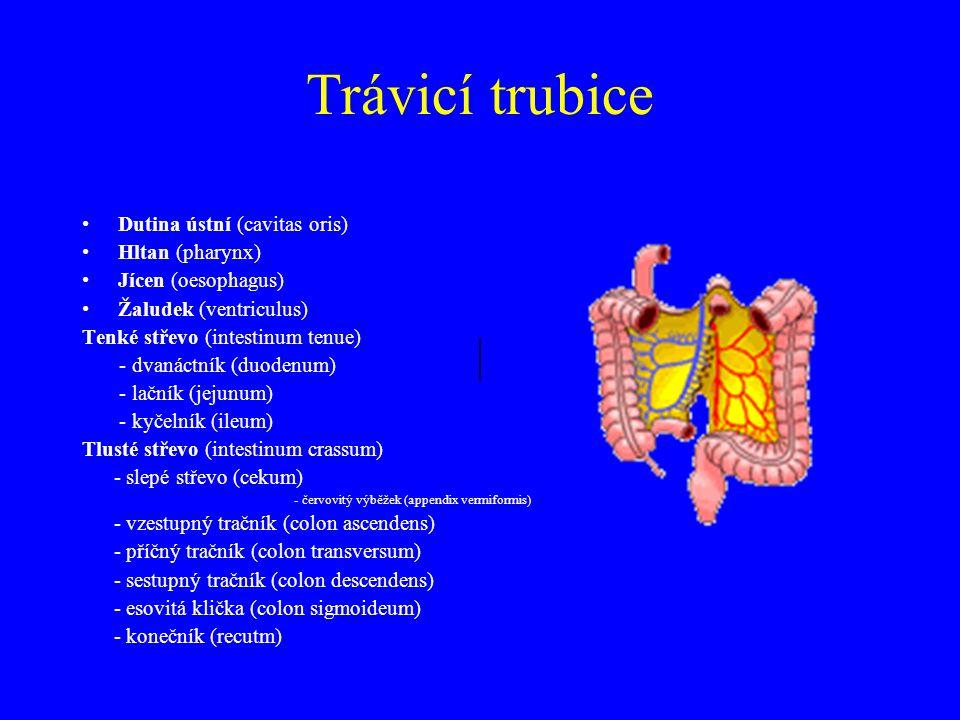 Trávicí trubice Dutina ústní (cavitas oris) Hltan (pharynx) Jícen (oesophagus) Žaludek (ventriculus) Tenké střevo (intestinum tenue) - dvanáctník (duodenum) - lačník (jejunum) - kyčelník (ileum) Tlusté střevo (intestinum crassum) - slepé střevo (cekum) - červovitý výběžek (appendix vermiformis) - vzestupný tračník (colon ascendens) - příčný tračník (colon transversum) - sestupný tračník (colon descendens) - esovitá klička (colon sigmoideum) - konečník (recutm)