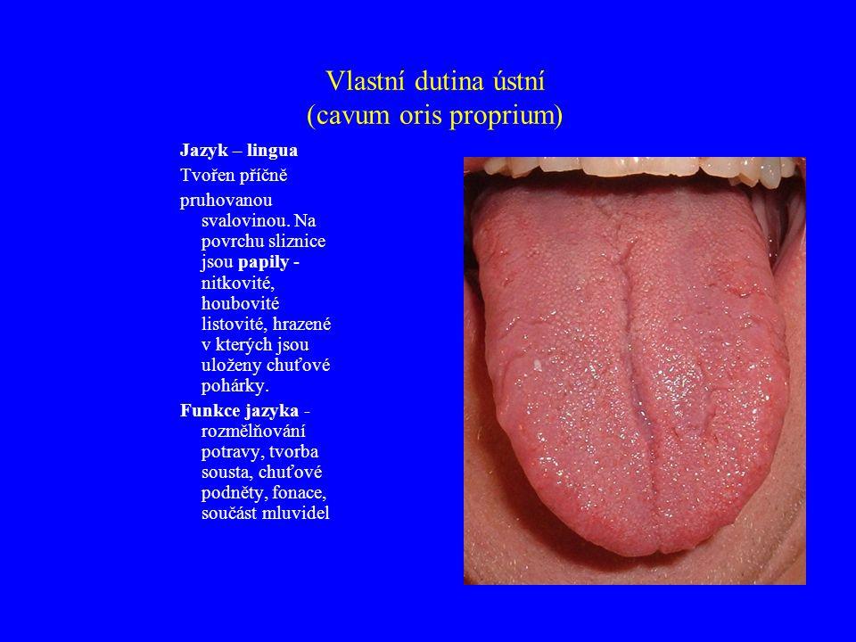Vlastní dutina ústní (cavum oris proprium) Jazyk – lingua Tvořen příčně pruhovanou svalovinou.