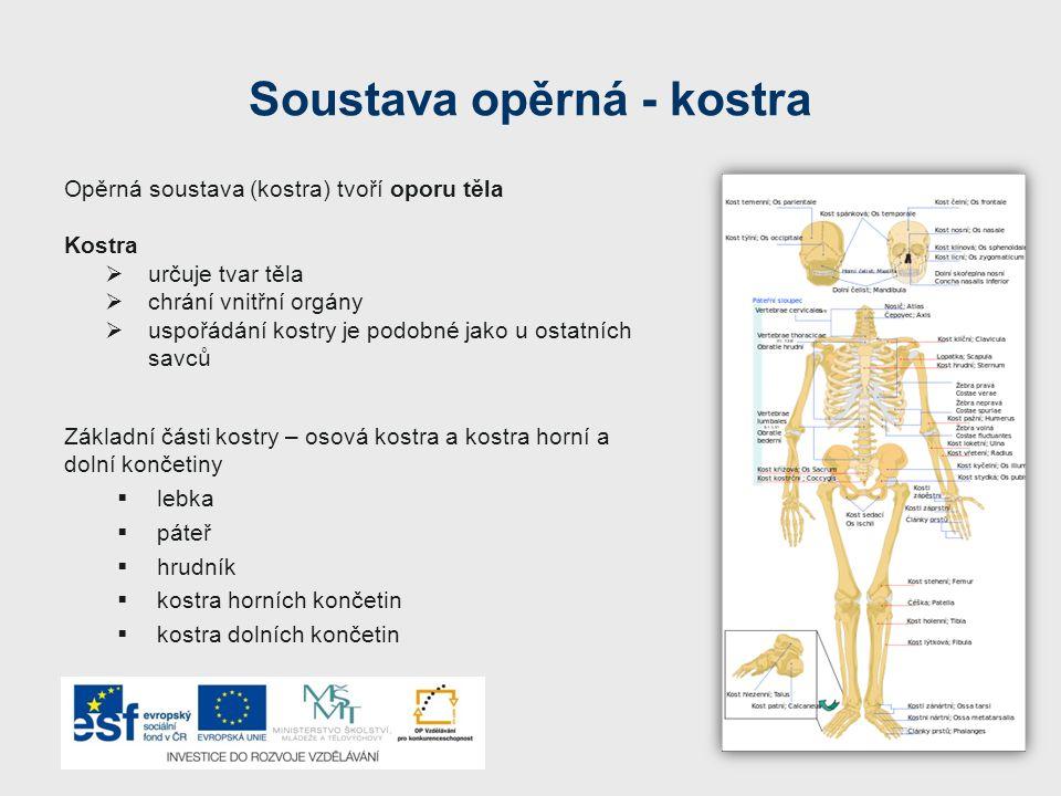 Znaky kostry Charakteristické znaky lidské kostry  dvojesovitě prohnutá páteř(základ vzpřímené postavy)  mozková část lebky je větší než obličejová  na spodní čelisti je nápadný bradový výstupek  horní končetiny – paže – jsou volné a umožňují dokonalou činnost ruky  dolní končetiny – jsou přizpůsobeny k chůzi, stehenní kost je nejdelší kost v lidském těle Osová kostra - skladba 1.lebka 2.páteř 3.žebra 4.hrudní kost